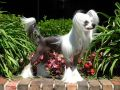 GCH Vanitonia Monkey Business Chinese Crested